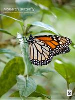 Monarch Butterfly: WWF and Climate Change Series Brochure