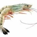 2 2 shrimp